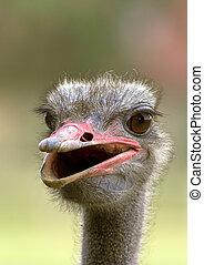Portrait of an ostrich taken at an ostrich farm.