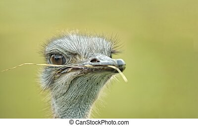 Portrait of an ostrich with a blade of grass in his beak looking away.