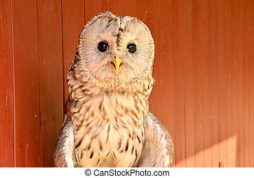 portrait of an owl on parade