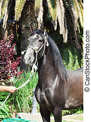 portrait of Andalusian grey  stallion from Spain