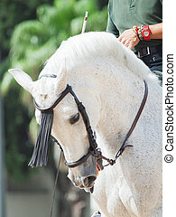 portrait of Andalusian white horse in movement. Spain