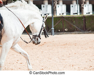 portrait of Andalusian white horse in movement sunny day. Spain