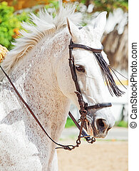 portrait of Andalusian white stallion in movement