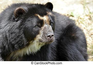 Portrait of Andean bear - Front portrait of andean bear (...