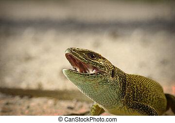 portrait of angry green lizard ( Lacerta viridis )