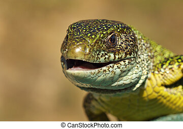 portrait of angry green lizard ready to bite ( Lacerta...