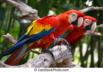 Portrait of parrot ara, Bali bird park, august, 2009.