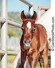 portrait of arabian little foal with mom. Israel