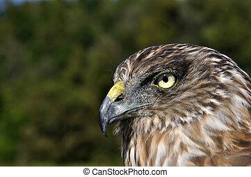 Harrier Hawk - Portrait of Australasian Harrier Hawk, Circus...