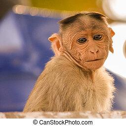 portrait of baby bonnet macaque monkey