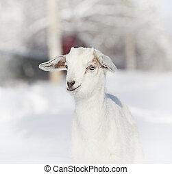 Portrait of baby goat