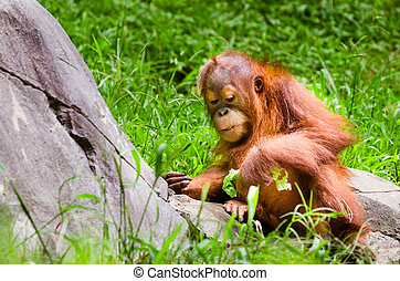 Portrait of baby orangutan