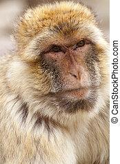portrait of Barbary ape in closeup