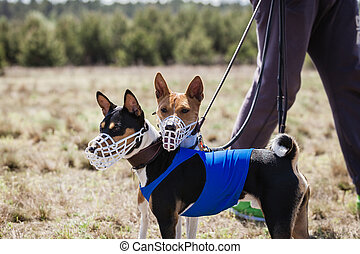 Portrait of Basenji dogs muzzled for a run