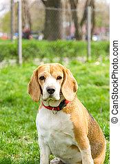 portrait of beagle dog in park