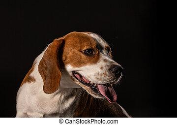 Beagle dog on the black background