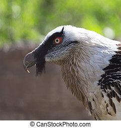 portrait of bearded vulture in zoo