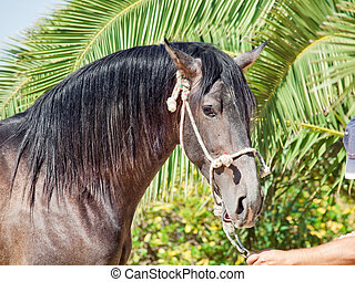 portrait of beautiful Andalusian grey  stallion. Spain