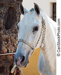 portrait of beautiful Andalusian white horse. close up