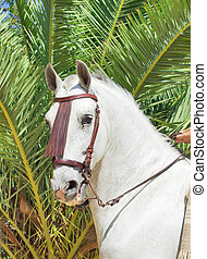 portrait of beautiful Andalusian white stallion