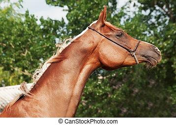 portrait of beautiful arabian filly