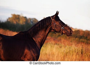 portrait of beautiful black breed stallion in field