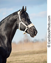 Portrait of  beautiful black breed stallion in spring field