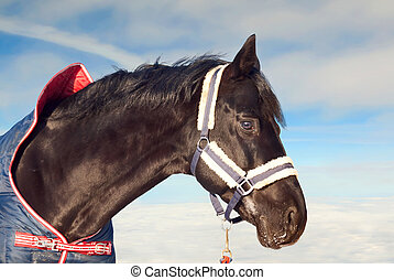 portrait of beautiful black horse in coat at the sky background .