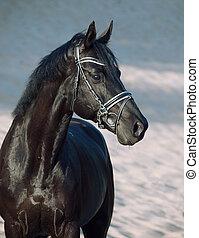 portrait of Beautiful black stallion in the desert