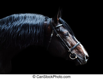 Portrait of beautiful breed sportive stallion at black ...