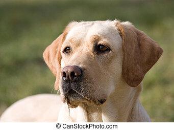 labrador retriever - Portrait of beautiful dog - labrador ...