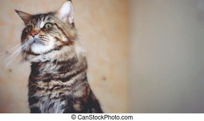 Portrait of Funny Maine coon cat black tabby colored
