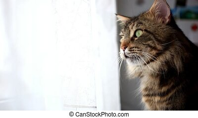 Portrait of beautiful Funny Maine coon cat black tabby colored looks at window. 1920x1080