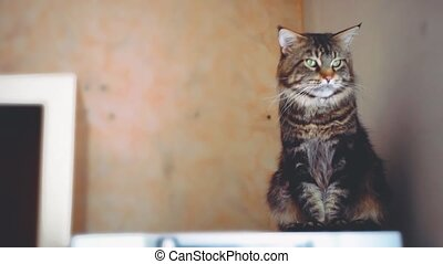 Portrait of beautiful Funny Maine coon cat black tabby...
