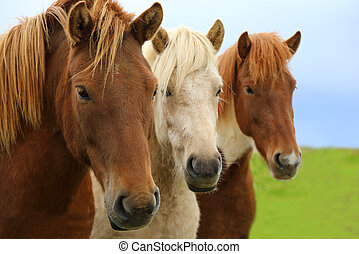 Portrait of beautiful Icelandic horses