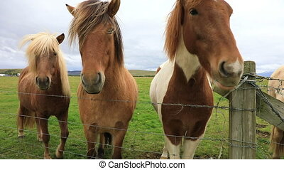 Portrait of beautiful Icelandic horses standing on field in...