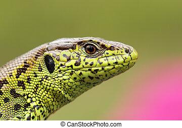 portrait of beautiful male sand lizard ( Lacerta agilis ),...