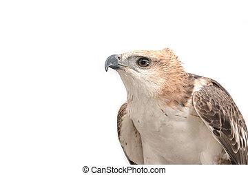 Portrait of beauty hawk, Changeable Hawk Eagle (Nisaetus ...