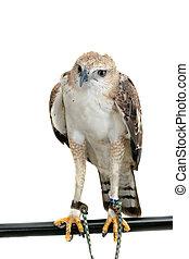Portrait of beauty hawk ,Changeable Hawk Eagle (Nisaetus ...