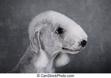 Portrait of Bedlington Terrier dog on a gray background