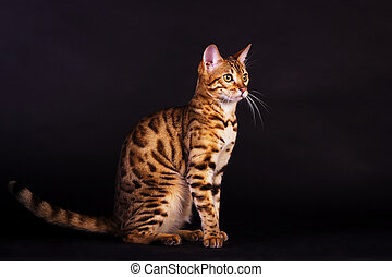 Portrait of bengal cat