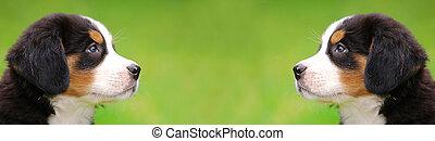 Portrait of Bernese mountain dogs - Portrait of puppy...