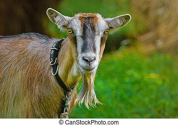 Portrait of Billy Goat
