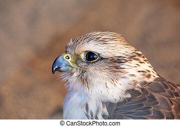 Birds of Prey - Common Kestrel - Portrait of Birds of Prey...