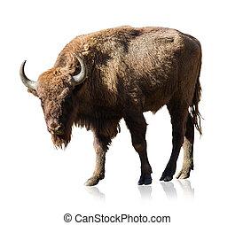 Portrait Of Bison