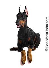 Portrait of black doberman on white