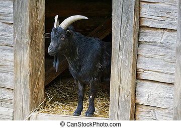 Portrait of black goat in a village