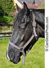 Portrait of black horse
