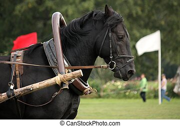 Portrait of black horse pulling the harness