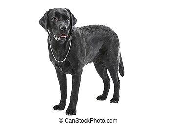 black labrador retriever dog lying on isolated white